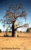 1951 Kimberley. Boab tree