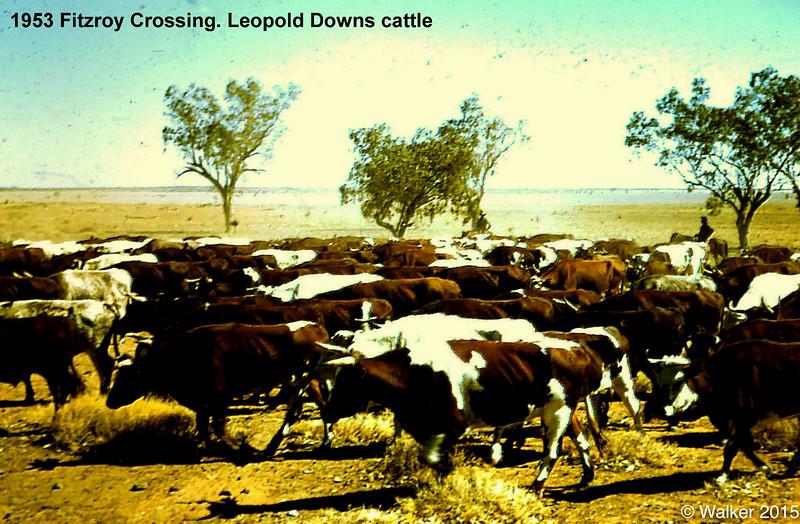 1953 Fitzroy Crossing. Leopold Downs cattle