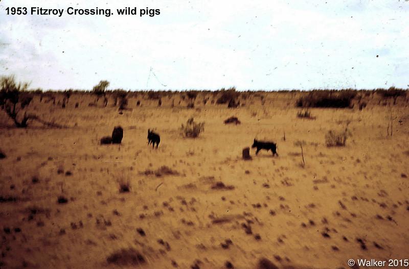 1953 Fitzroy Crossing. wild pigs