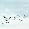 Sandhill Cranes at Baker Woods Preserve