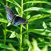 Red-spotted Purple butterfly<br /> (limenitis arthemis) at Baker Woods Preserve