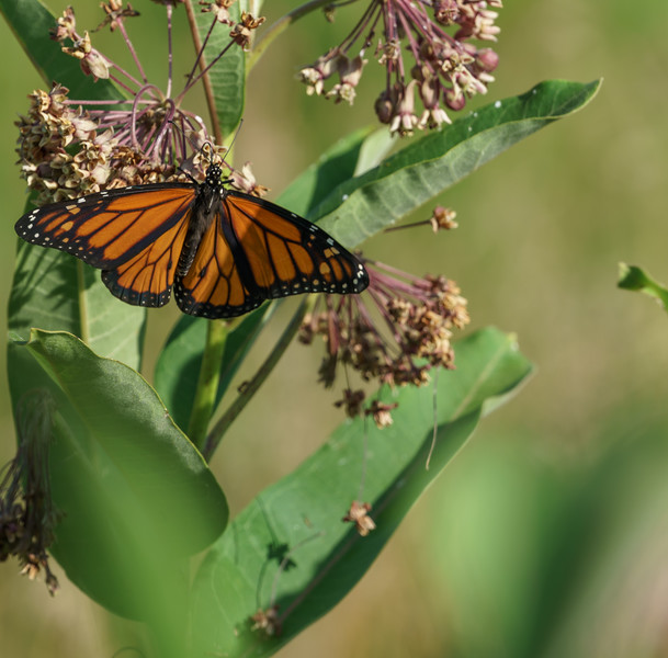 Monarch Butterfly (danaus plexippus ) at Baker Woods Preserve