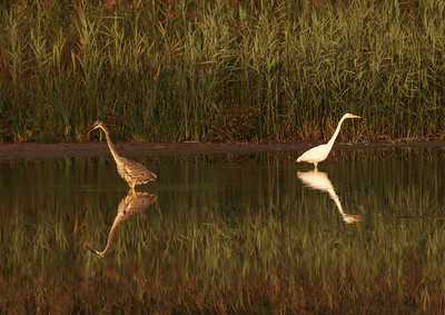 Heron and Egret