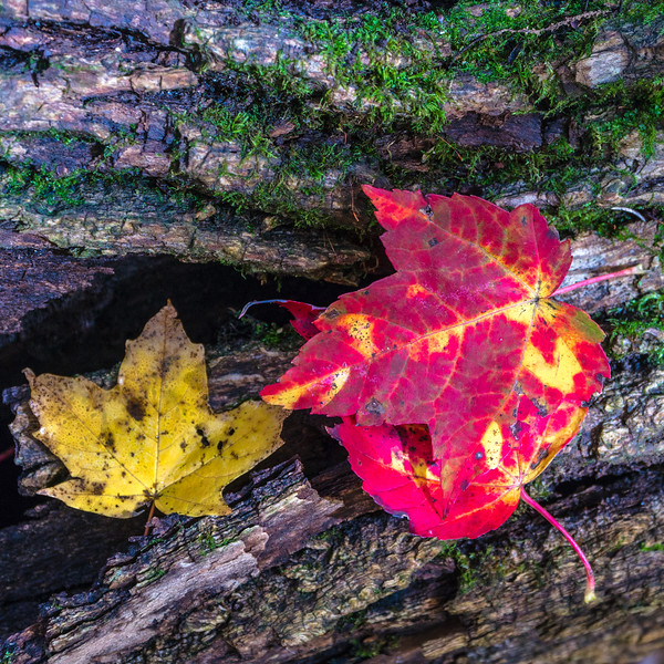 Autumn leaves at the Nan Weston Preserve