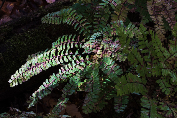 Ferns at the Nan Weston Preserve