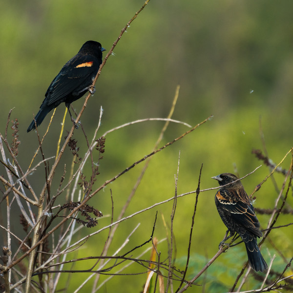 Male & Immature Redwing Blackbird