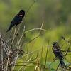 Male & Immature Redwing Blackbird