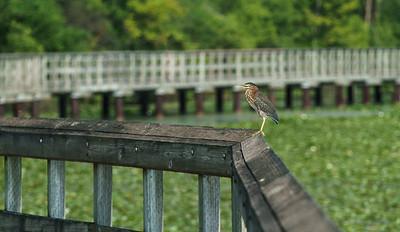 Green Heron on the Boardwalk at North Bay Park