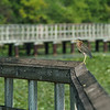 Green Heron on the Boardwalk at North Bay Park