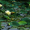 American Lotus in the lagoon at North Bay Park
