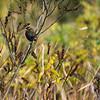 Female Redwing Blackbird?