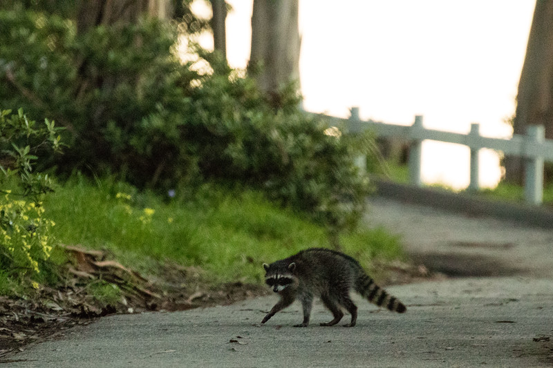 Why did the racoon cross the road?