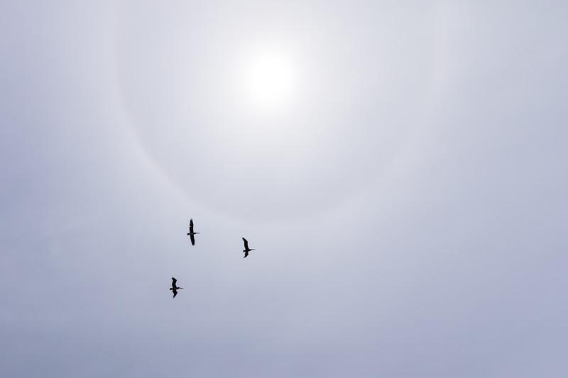 Pelican overflight