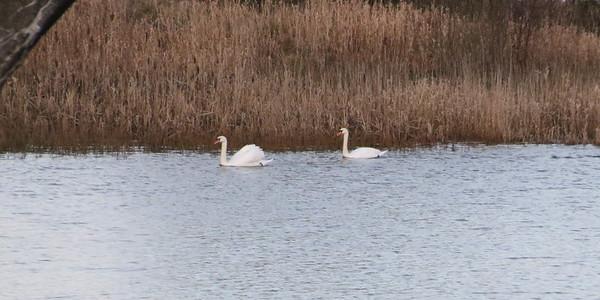 Swans on Waulkmill Glen Reservoir