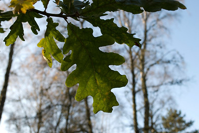 Oak leaf on a walk around the grounds of Drum Castle.