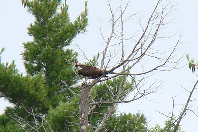 Osprey at Copicut Reservoir