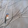 Eastern Bluebird <br /> Photo by Lynn Richards