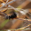 A Woolly Bear caterpillar - According to legend, the severity of the upcoming winter can be judged by examining the pattern of brown and black stripes on woolly bear caterpillars–the larvae of Isabella tiger moths. If the brown stripe between the two black stripes is thick, the winter will be a mild one. A narrow brown stripe portends a long, cold winter.