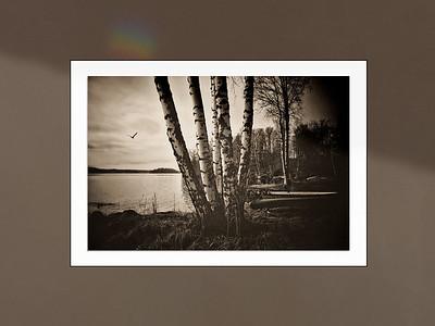 Birch Trees Framed