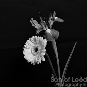 Dutch Iris & Yellow Gerbera