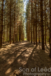 Trees in Rendlesham Forest - Suffolk