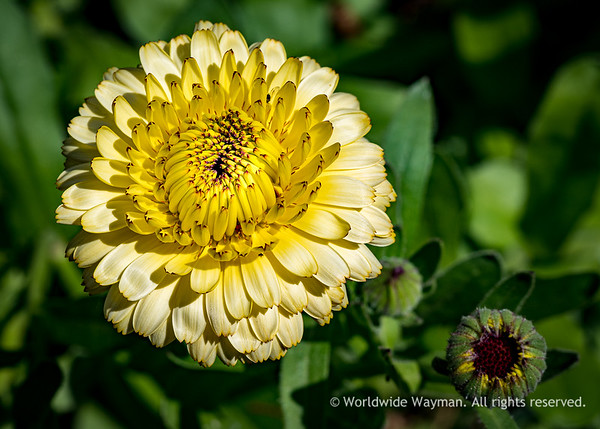 YELLOW PETAL PROFUSION