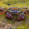 Animal Marine Life, Crab