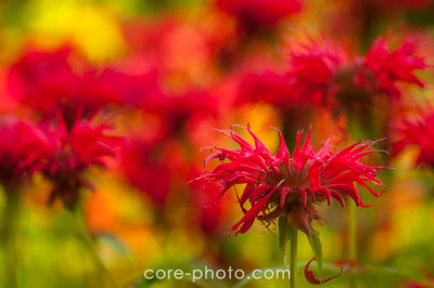 Red Bee Balm Stunner