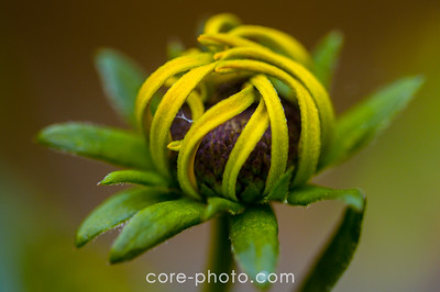 Closed Black-Eyed-Susan