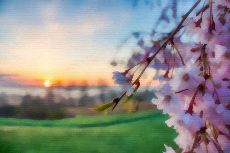 Cherry Tree Sunrise