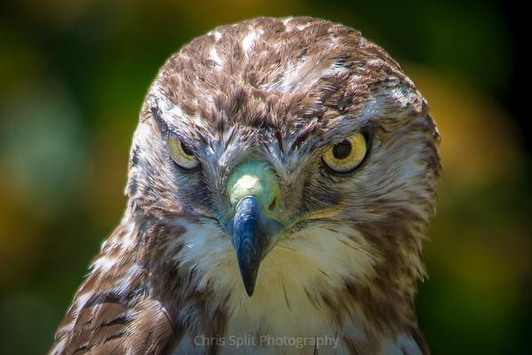 hawk annoyed (1 of 1)