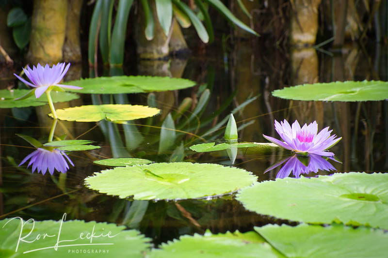 Water Lillies at San Francisco Flower Conservatory