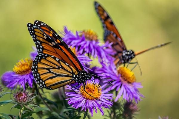 monarch butterflies (1 of 1)