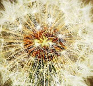 Super close-up of a dandelion