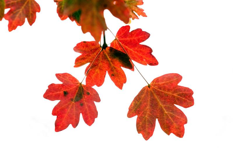 Acer Campestre 'Evenly Red'