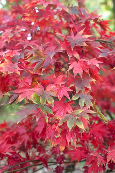 Acer Palmatum Osakasuki
