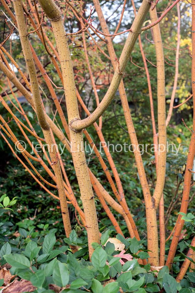 Acer x Conspicuum Phoenix