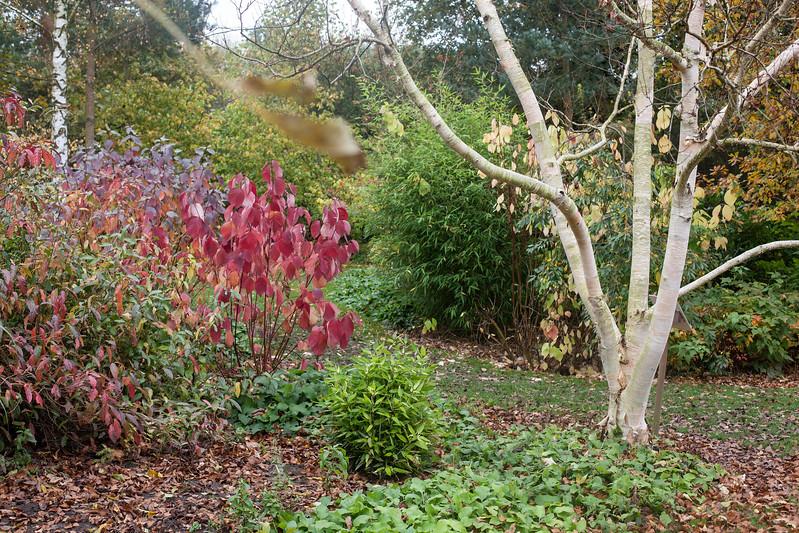 Betula Ermanii 'Grayswood Hill'