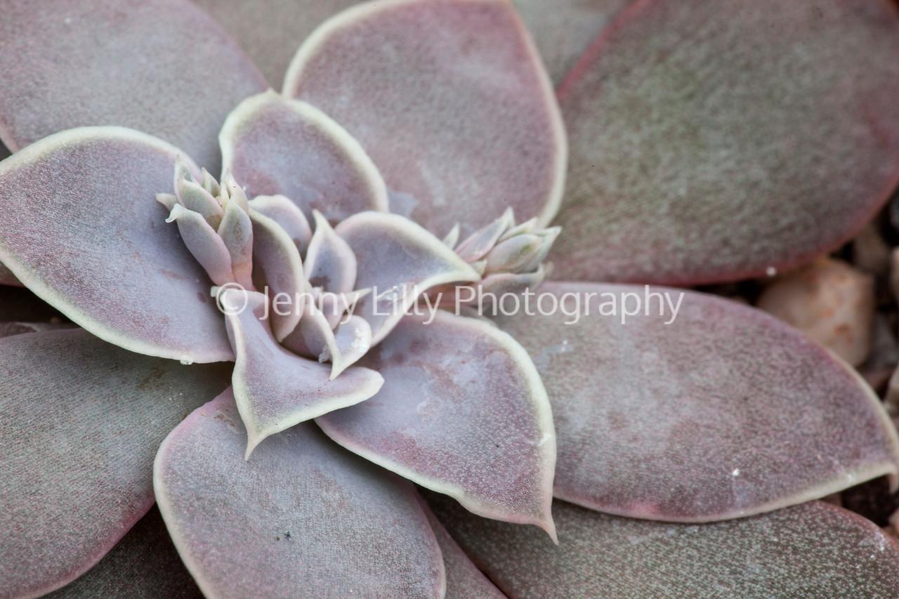 Echeveria Carnicolor x Purpurea