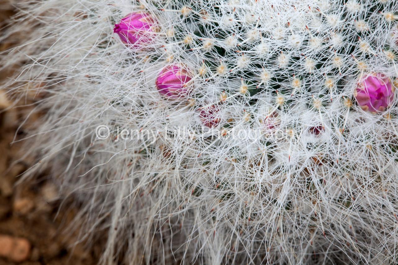 Mammallaria Hahniana