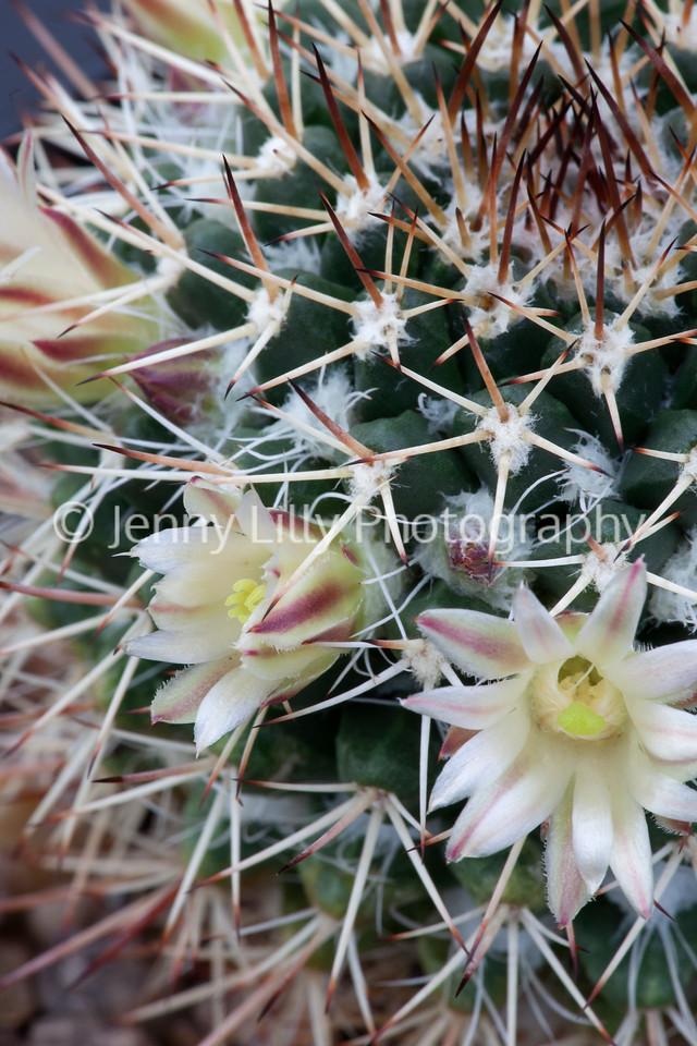 Mammillaria Cillinsii Chiapas