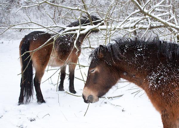 Exmoor Ponies in Sutton Park in the snow