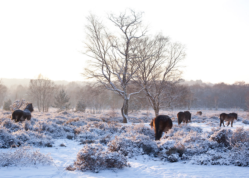 Exmoor ponies in Sutton Park, Sutton Coldfield,  in frost