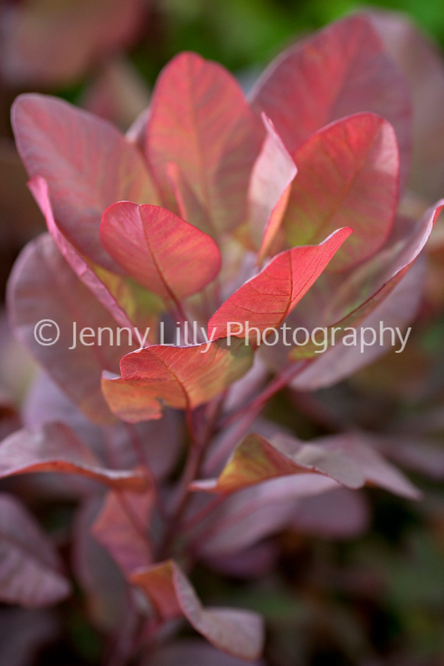 Cotinus Coggygria 'Old Fashioned'