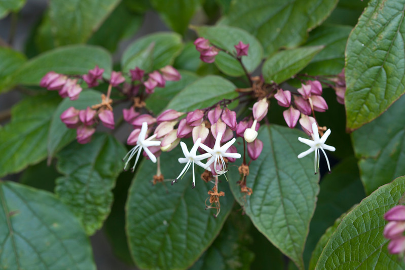 Clerodendron Thomsoniae