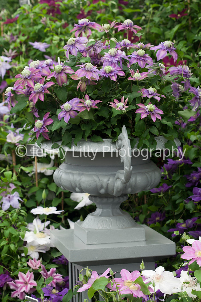 Clematis in urn