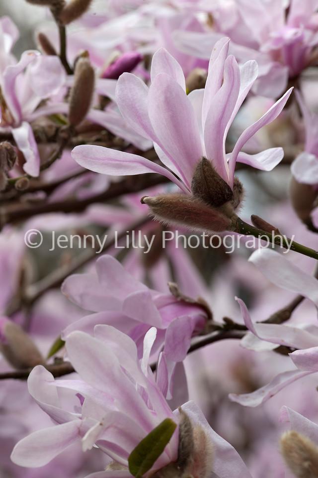 Magnolia x loebneri 'Leonard Messel'