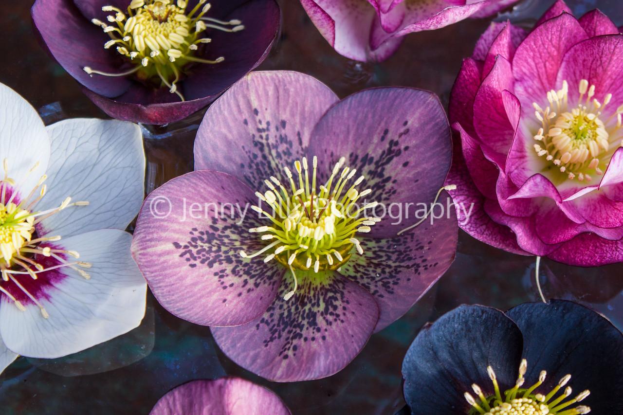 Ashwoods Hybrid hellebore flowers floating in water