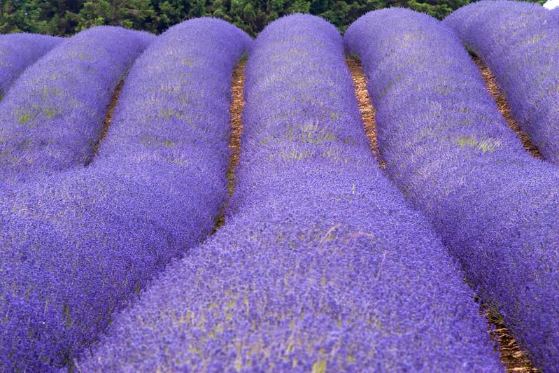 Snowshill Lavender farm in July