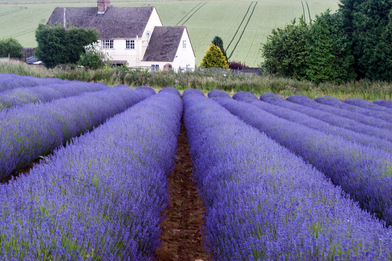 Snowshill Lavender farm in July